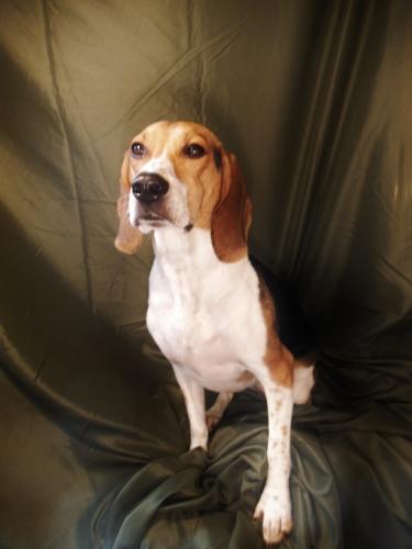 Tall Beagle?-017-2-375x500-.jpg