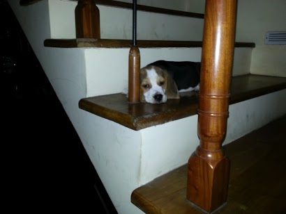 Is my beagle purebred?!?!?!??-20120916_122842.jpg