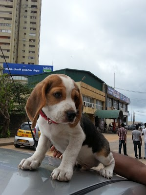 Is my beagle purebred?!?!?!??-20120923_114804.jpg
