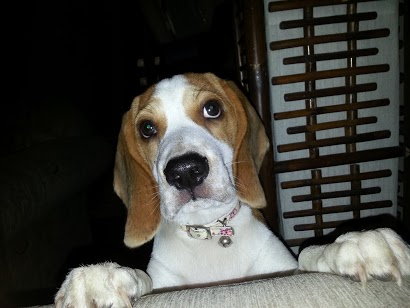 Is my beagle purebred?!?!?!??-20121116_154634.jpg