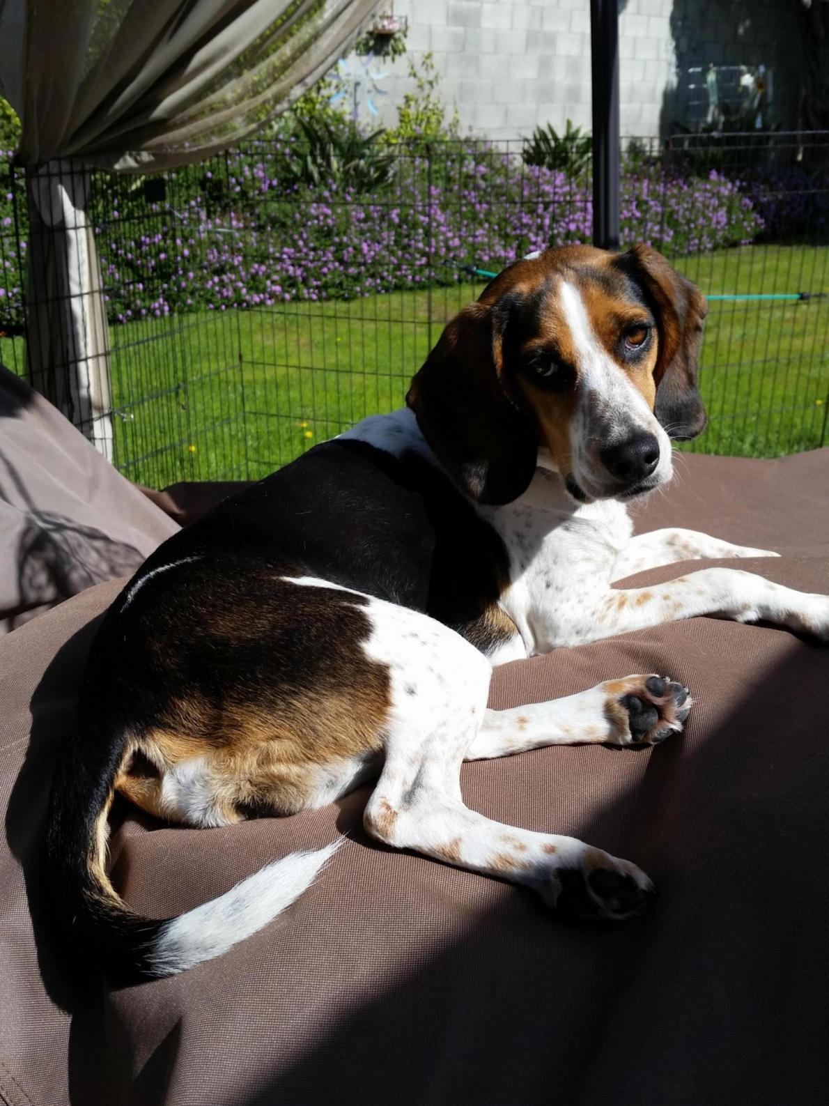 Boast about your Beagle-20160410_095720_1565140225720.jpg