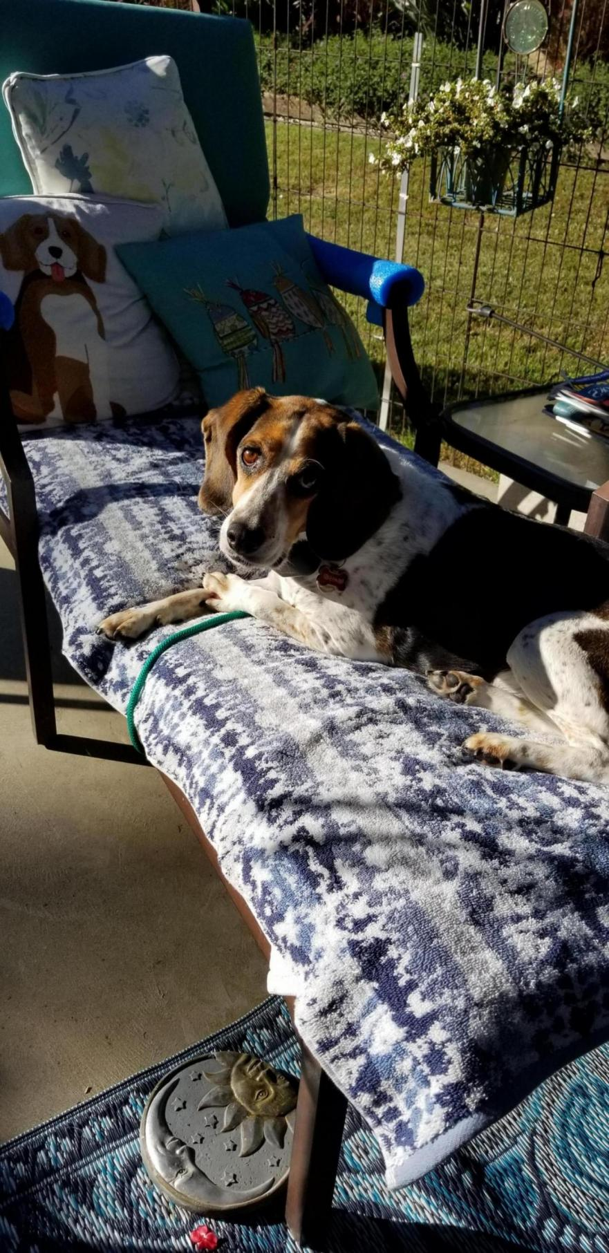 Post a picture of your Beagle-20190701_075836_1561993154233.jpg