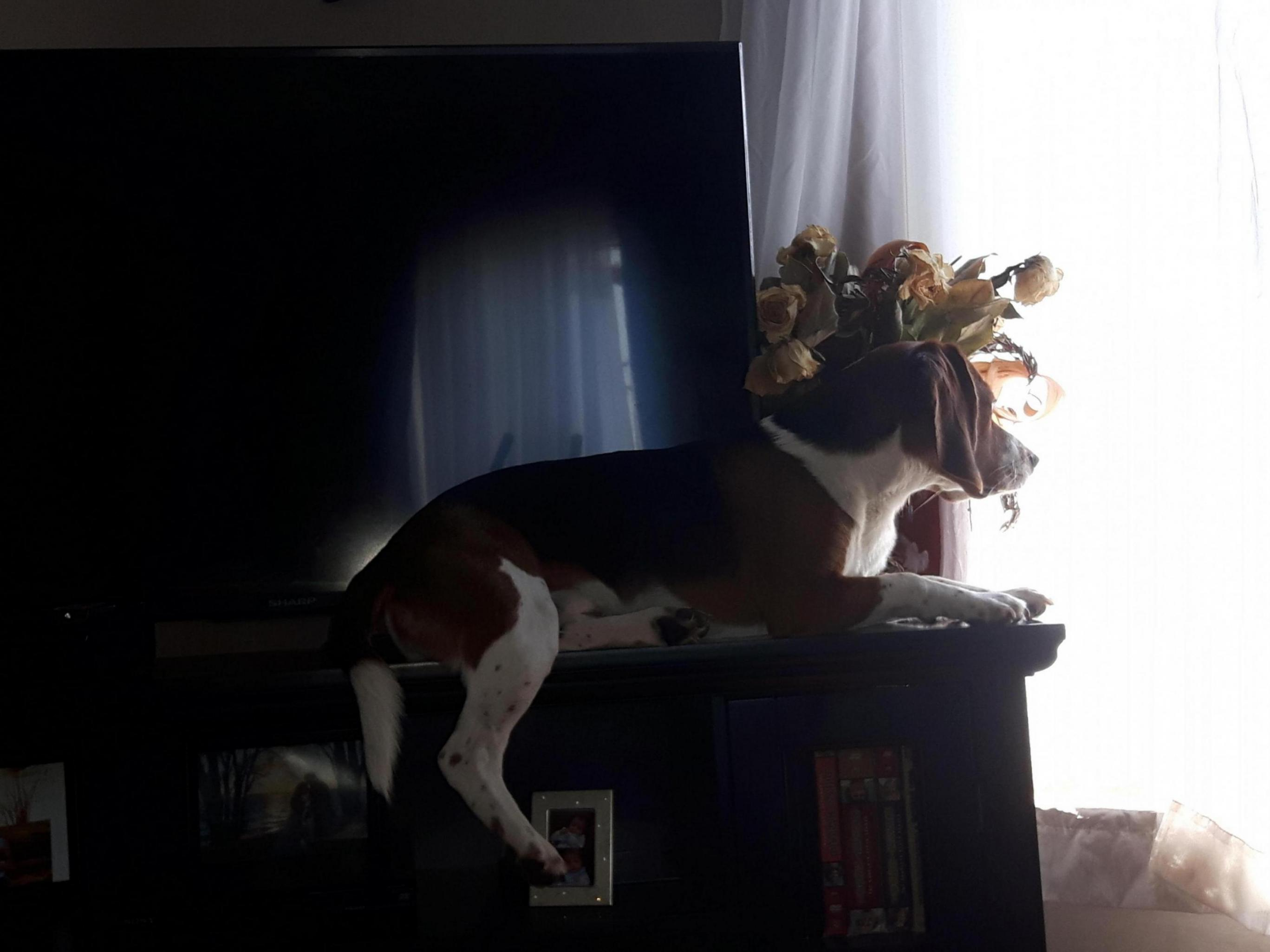 Boast about your Beagle-20190725_112651_1565132284362.jpg