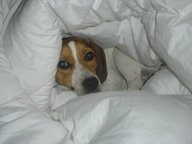 Resultado de imagen para beagle bed