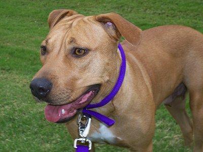 Boxer Lab or Pit Lab? - Beagle Forum : Our Beagle World Forums
