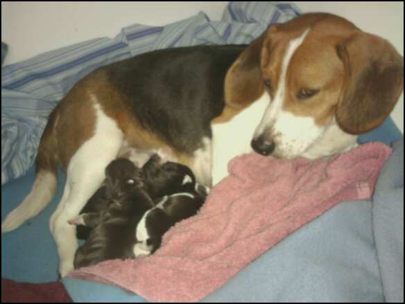 Is my beagle pregnant?-542085340_1917653952_0.jpeg