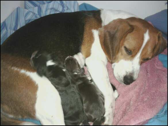 Is my beagle pregnant?-542086935_1917659741_0.jpeg