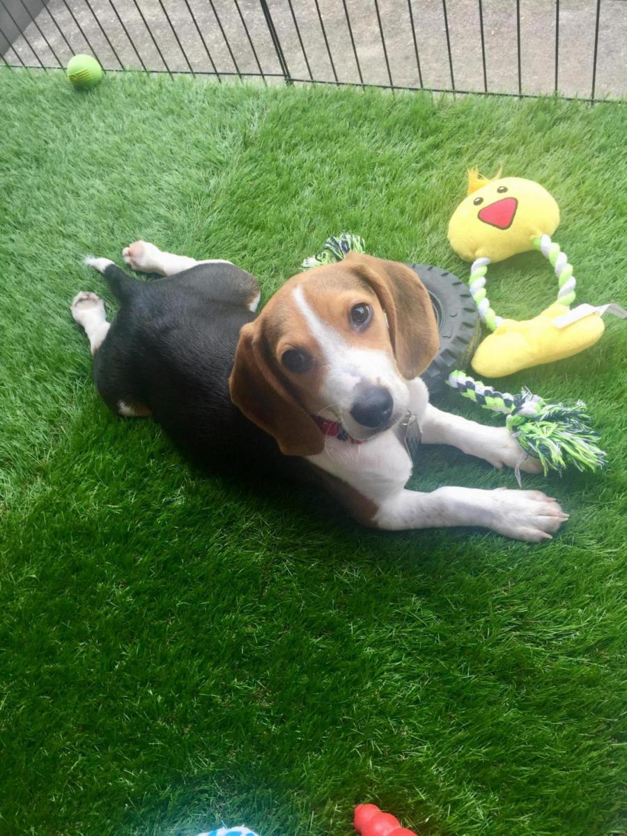 Newbie Beagle Owner-55541730-46ad-46ea-926e-f533a48c9116_1564925069264.jpg