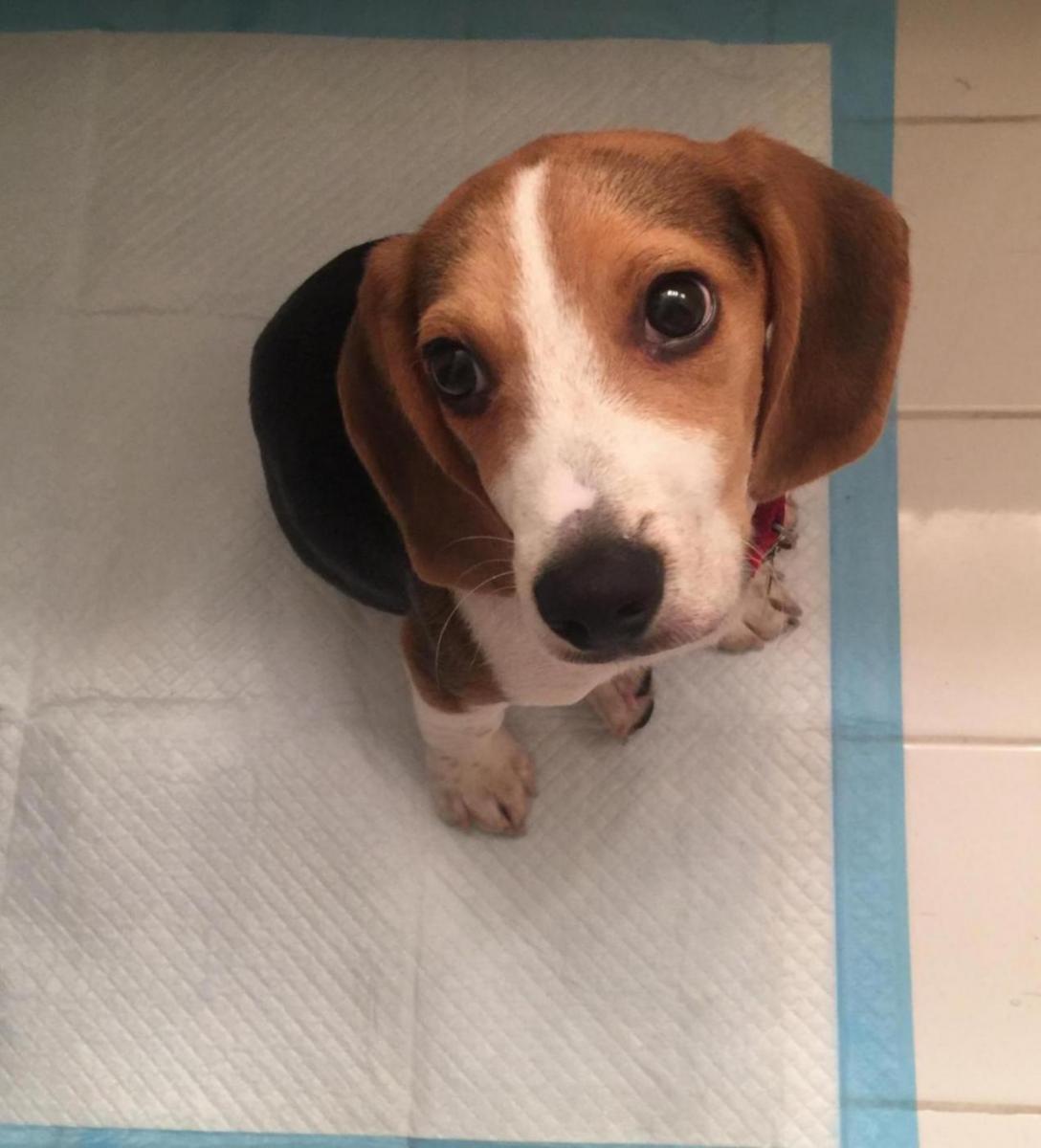 Newbie Beagle Owner-9365a465-c7f4-440d-a427-224fe427db73_1564925020282.jpg