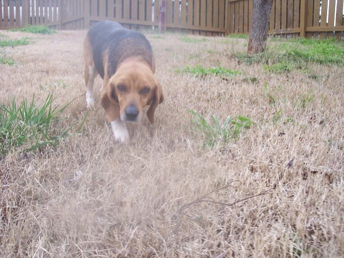 URGENT! Found Beagle -- Needs Adoption / Foster GEORGIA-beagle.jpg