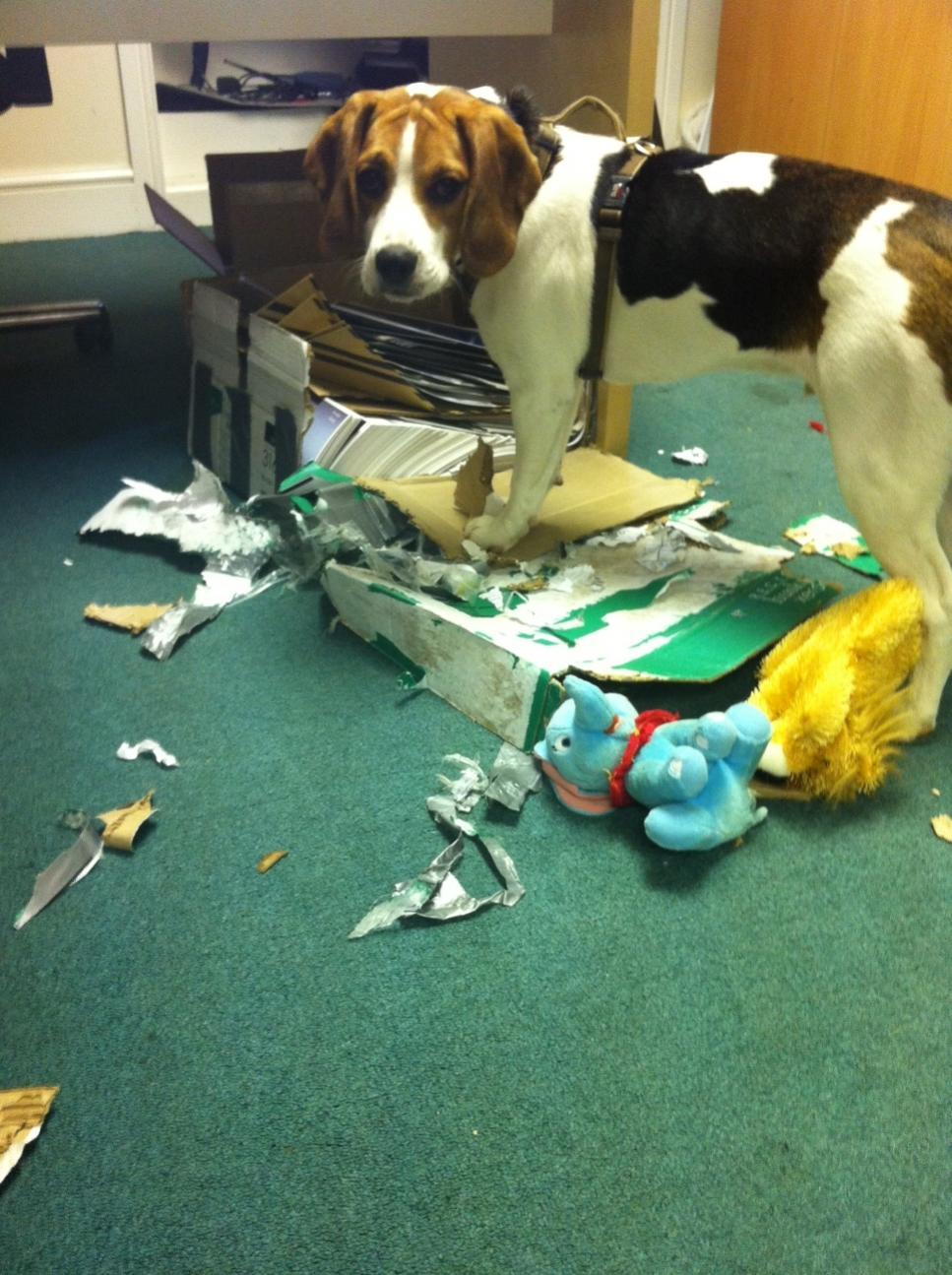 entertaining your beagle beagle forum our beagle world forums