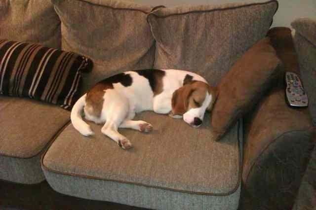Tall Beagle?-imageuploadedbypetguide1361201380.475274.jpg