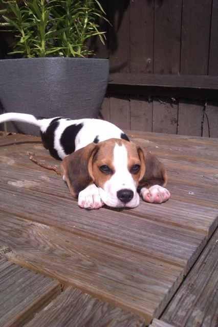 Tall Beagle?-imageuploadedbypetguide1361201397.105830.jpg