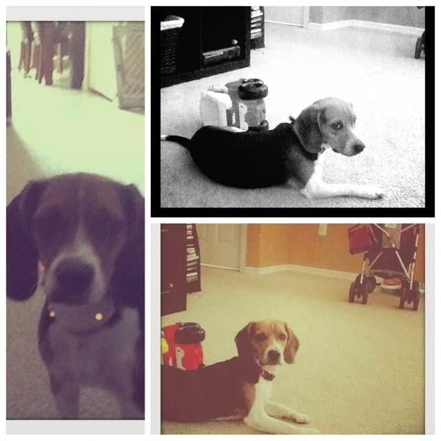Full beagle?-imageuploadedbypg-free1354215010.403423.jpg