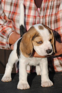 My beagle does not look like a full beagle...-imageuploadedbypg-free1357881230.344758.jpg