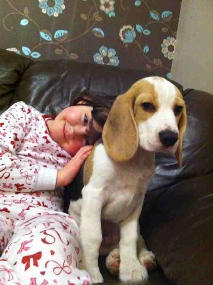 My beagle does not look like a full beagle...-imageuploadedbypg-free1357881267.848800.jpg