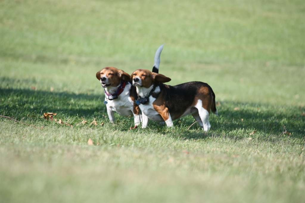 Some of my beagles-imageuploadedbypg-free1358018965.569382.jpg