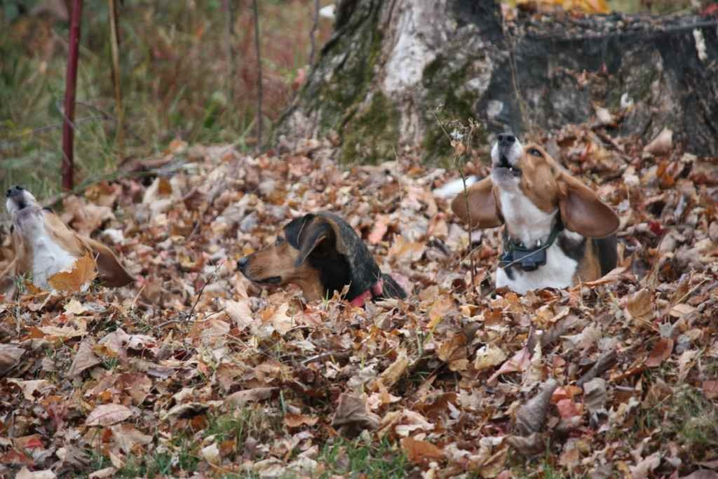 Some of my beagles-imageuploadedbypg-free1358019086.733506.jpg