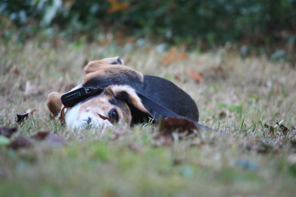 Some of my beagles-imageuploadedbypg-free1358111272.180338.jpg