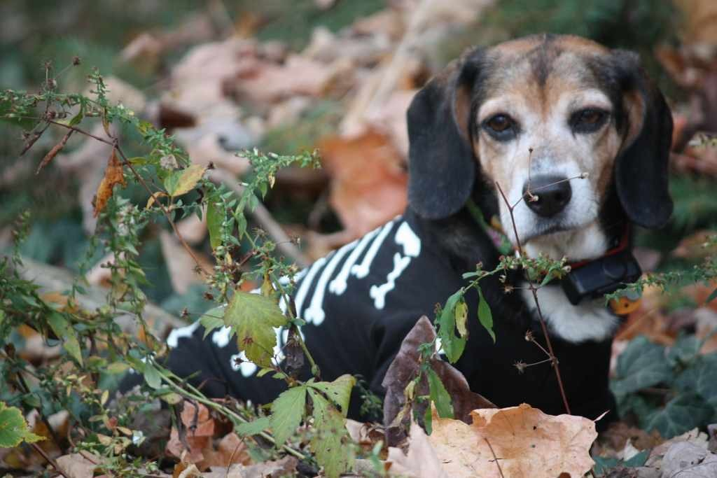 Some of my beagles-imageuploadedbypg-free1358111329.838805.jpg