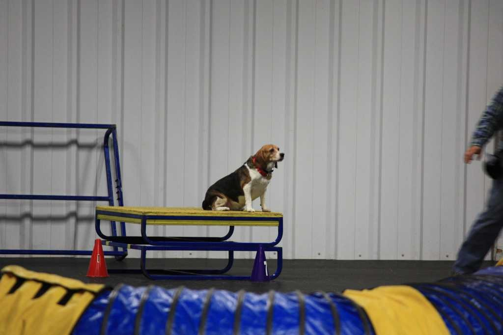 Some of my beagles-imageuploadedbypg-free1359839713.968115.jpg