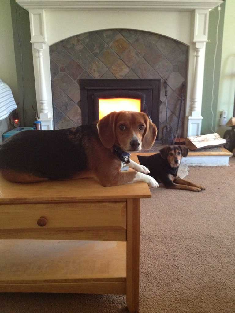 Some of my beagles-imageuploadedbypg-free1360273239.582461.jpg