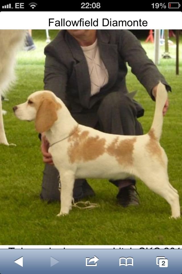Show dogs - breed standard?-imageuploadedbypg-free1360707409.484202.jpg