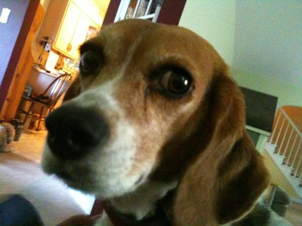 Resultado de imagen para beagle staring