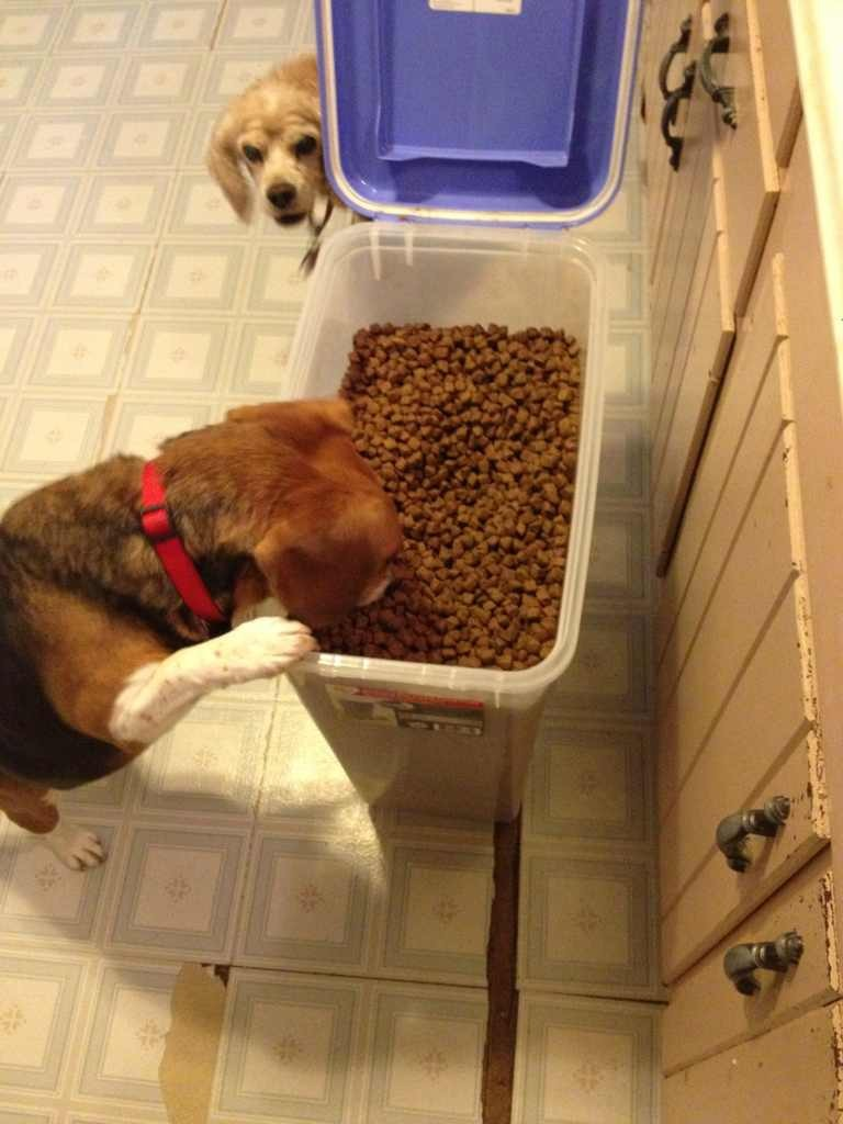 Some of my beagles-imageuploadedbypg-free1376094642.866248.jpg