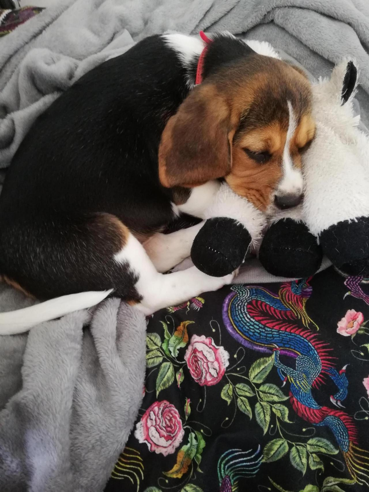First time Beagle (any dog) owner-img_20190503_113537_1557080619311.jpg