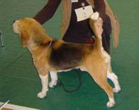 Beagle colour advice/opinions-mollys-dad.jpg