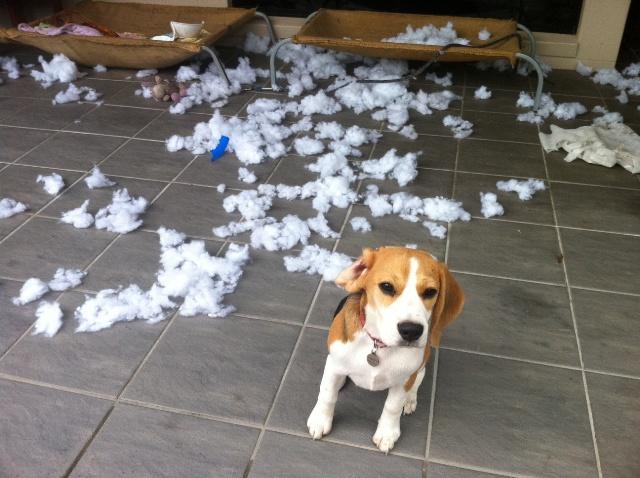 Resultado de imagen para beagle chewing furniture