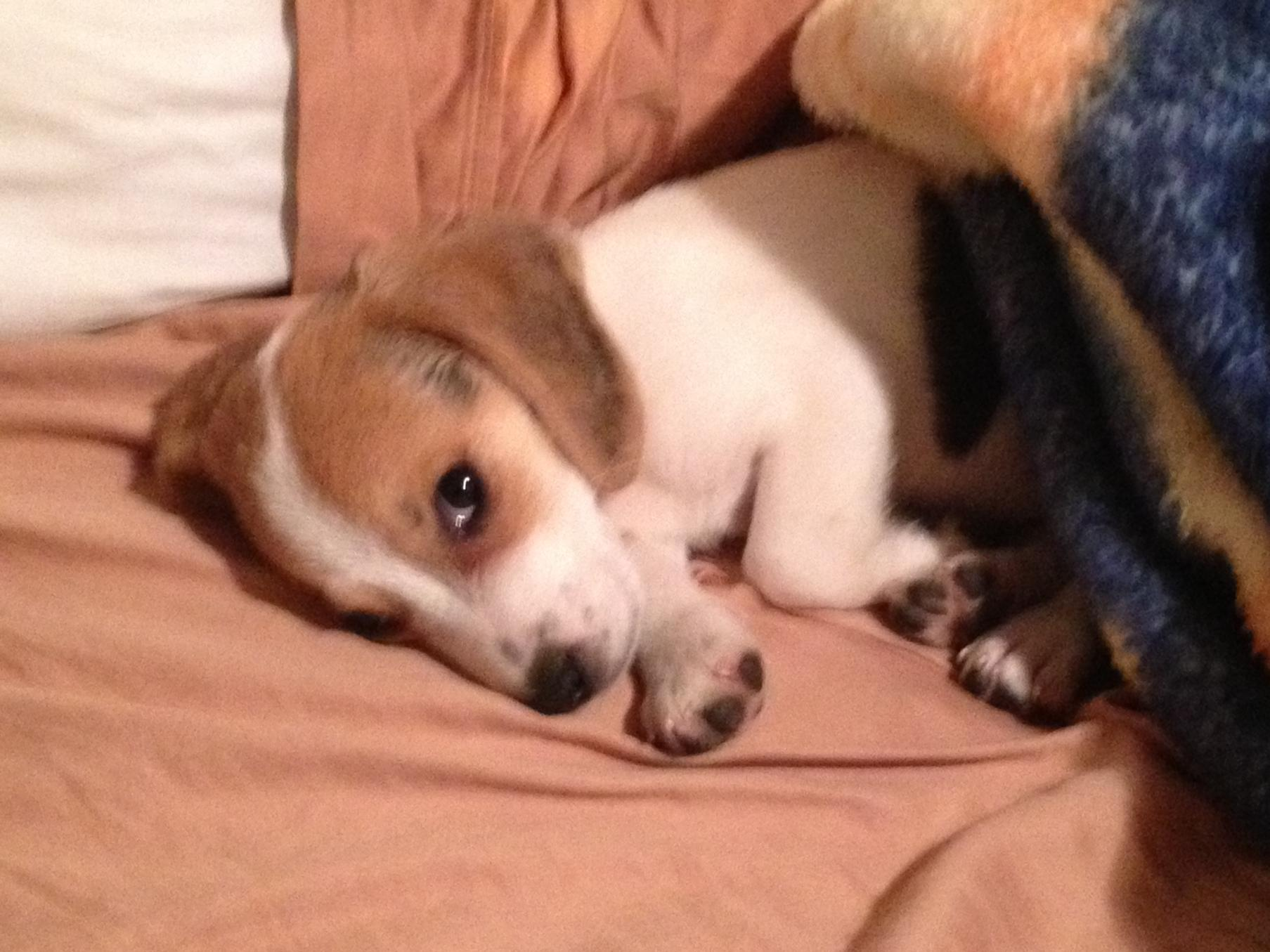 New User/New Beagle Mommy-rascalbed.jpg