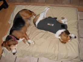 Calming the Beag...Days #2 and #3-thundershirt.jpg