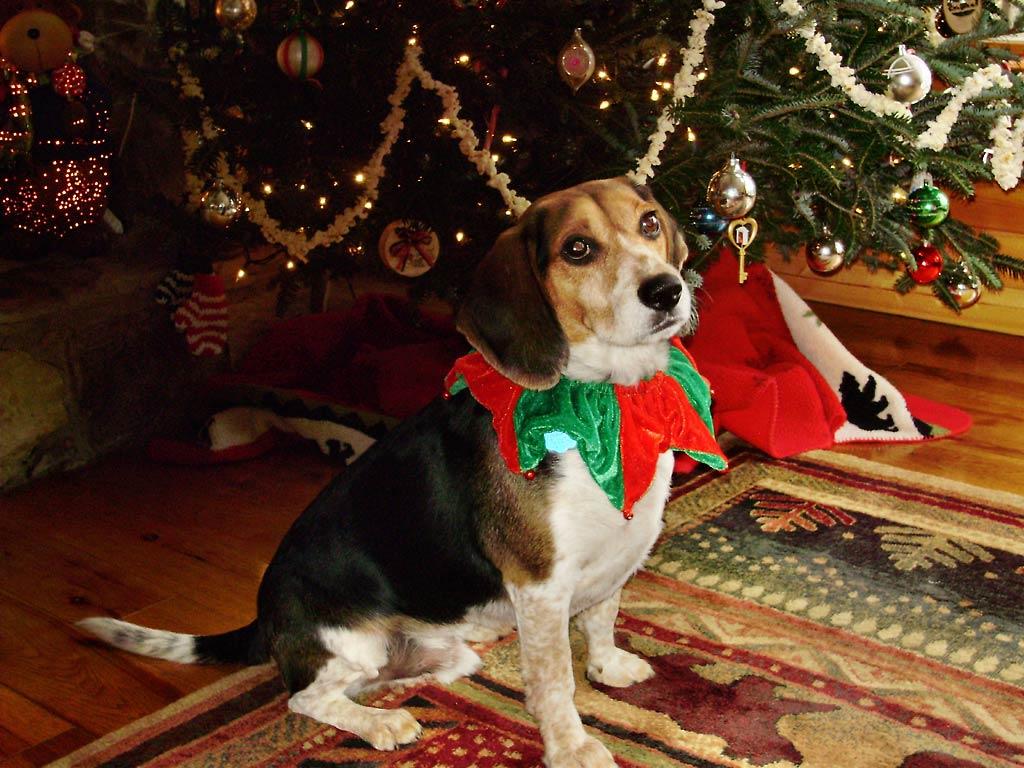 charlie in the christmas spirit xmas charlie 4jpg - Christmas Beagle