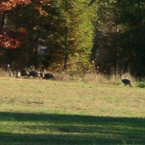 A flock of turkeys out for a walk.